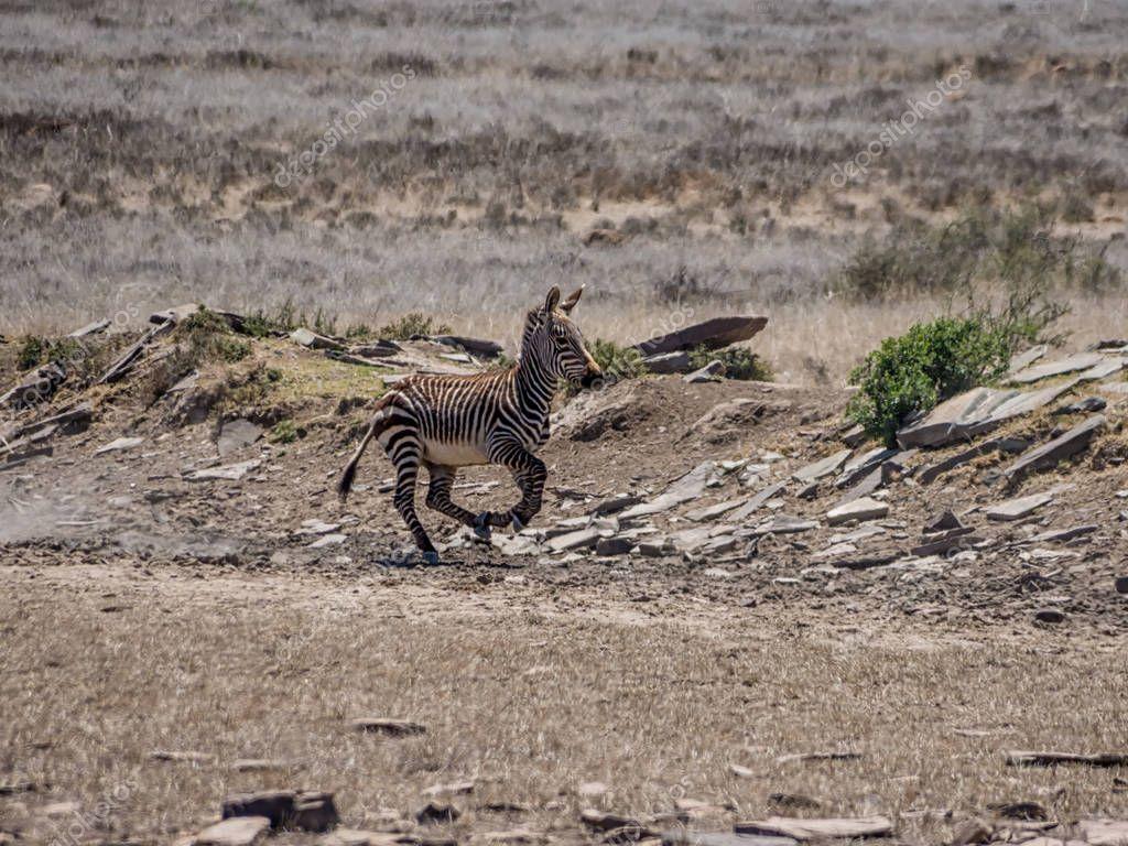 Burchell's Zebra running across Savannah