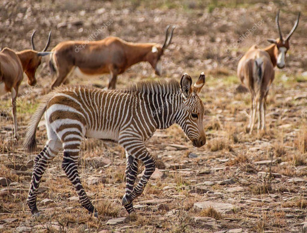 baby Zebra walking in savanna, Southern Africa