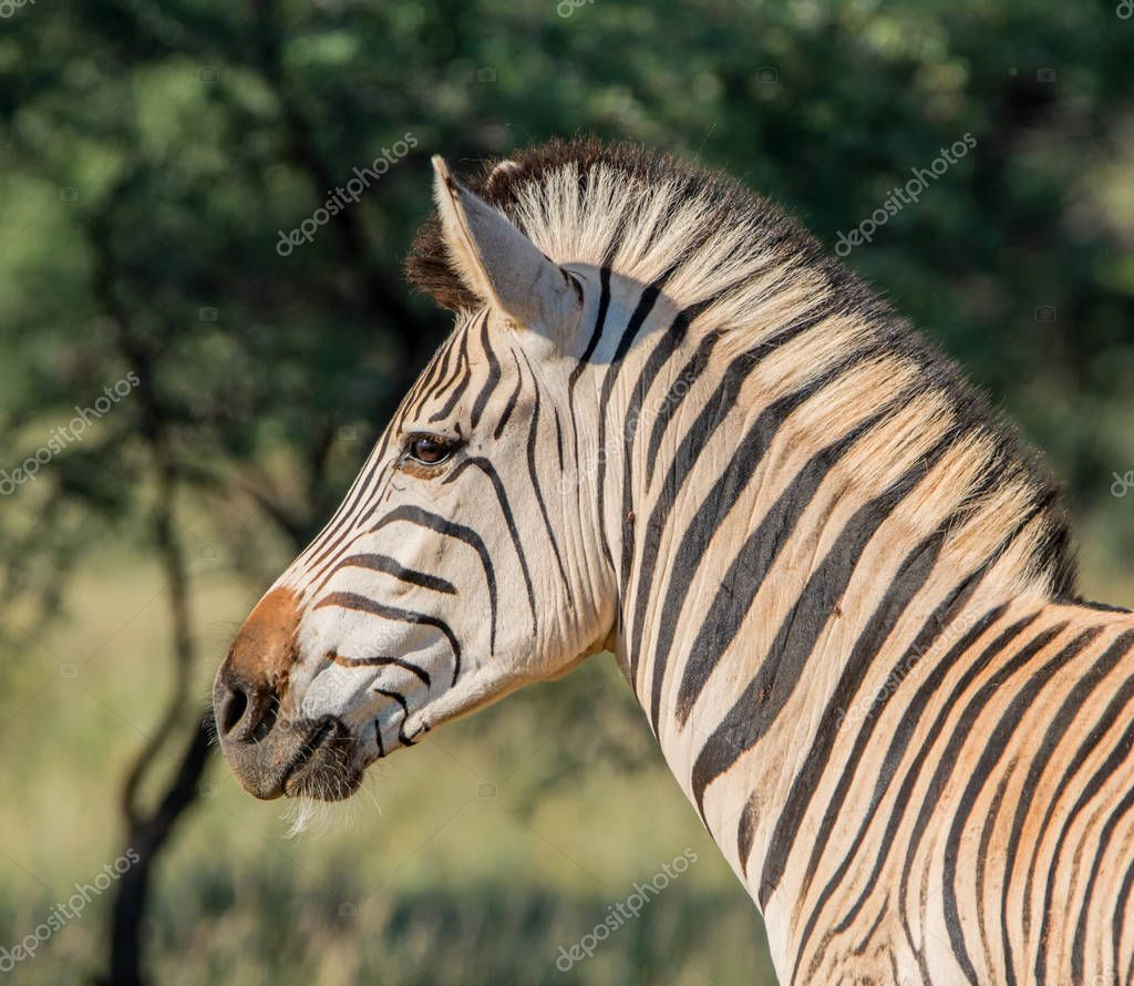 Side portrait of Zebra in Southern African Savannah