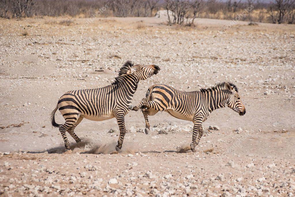 Zebras fighting on sand in Namibian savanna at daytime