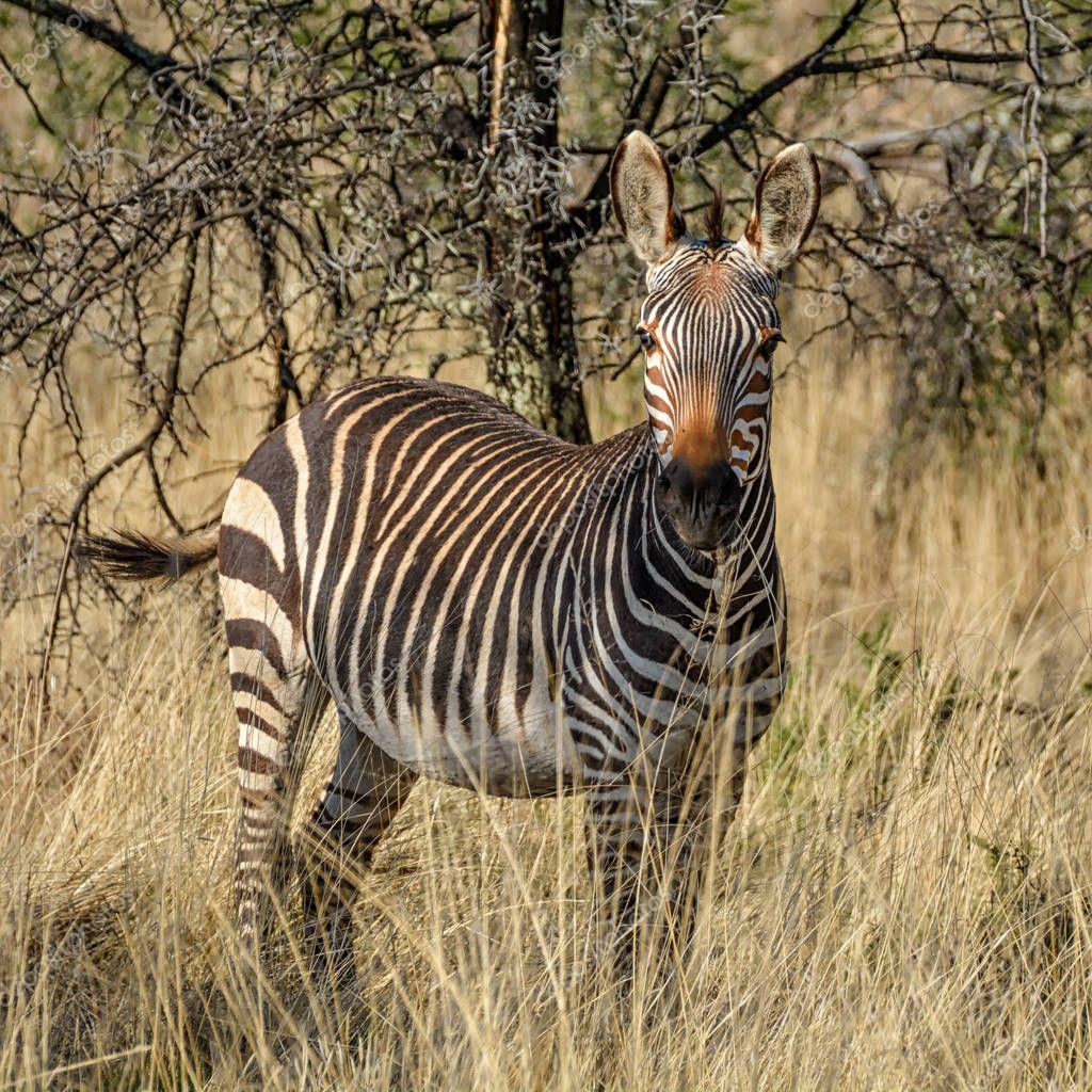 view of Zebra walking in Southern African savanna
