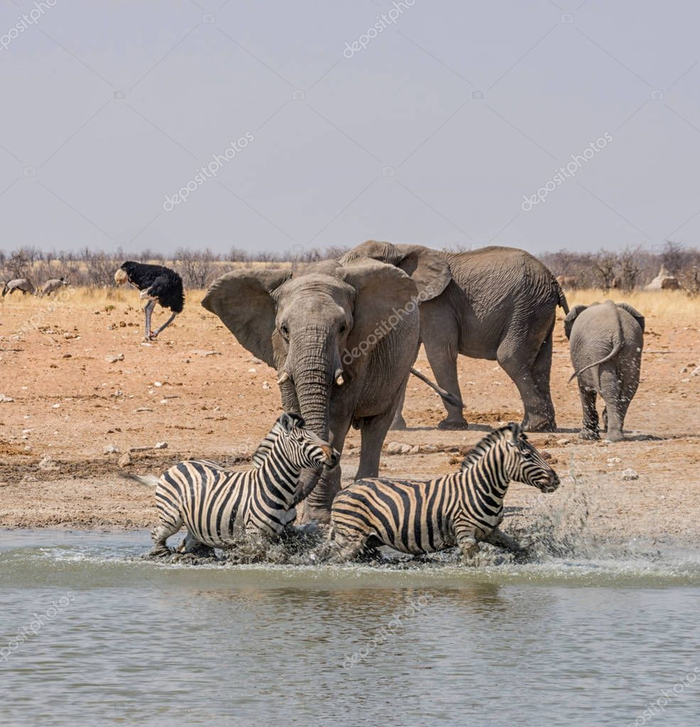 Elephants chasing Zebras at watering hole in Namibian savanna