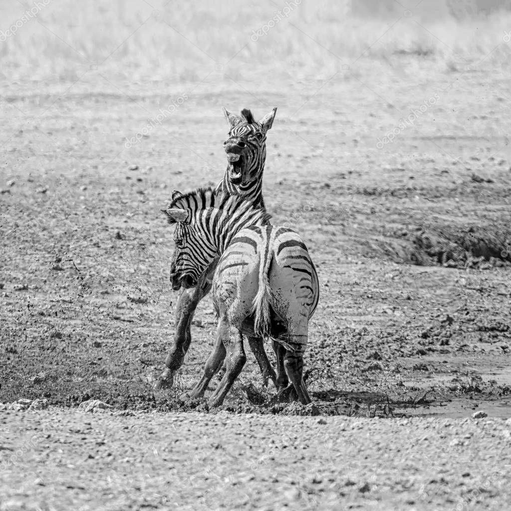 monochrome photo of Zebras fighting in Namibian savanna