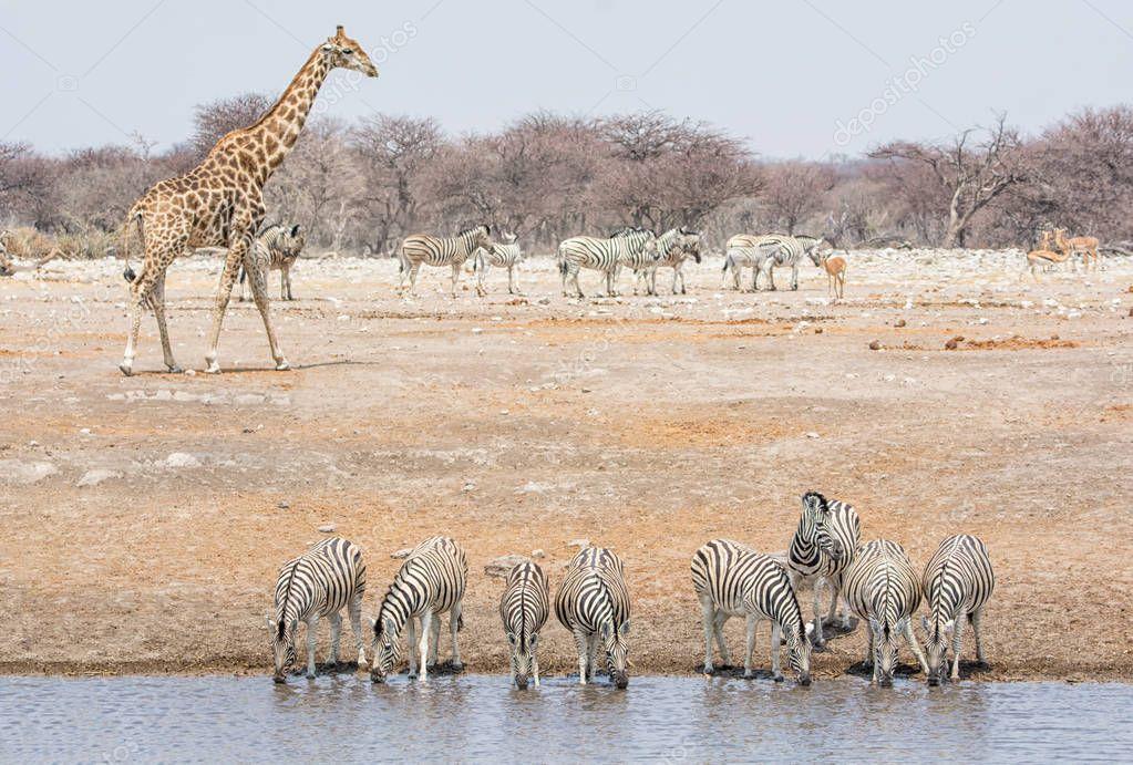 Zebra group and giraffe at watering hole in Namibian savanna