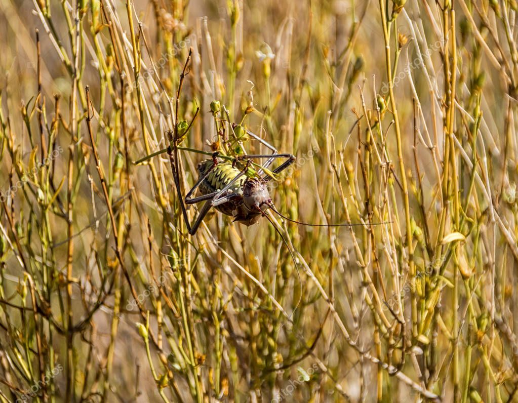 Corn Cricket foraging in long grass in Southern African savanna