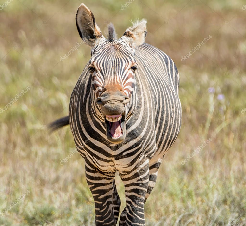close up of Cape Mountain Zebra neighing on blurred background