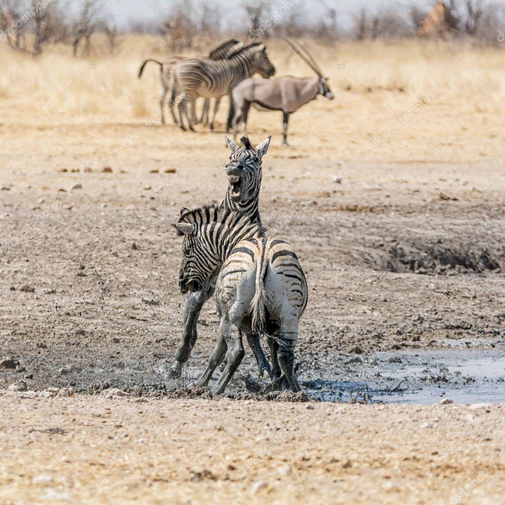 Zebra stallions fighting in Namibian savanna at daytime