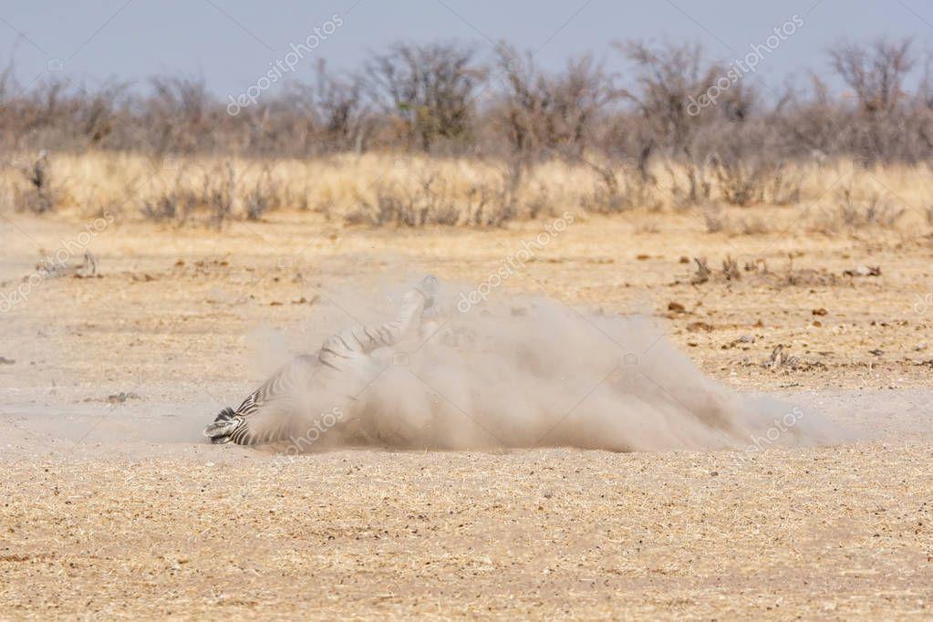 Zebra having dust bath in Namibian savanna at daytime