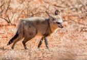 Bat-eared Fox foraging in Southern African savanna