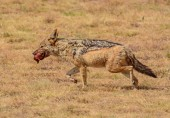Black-backed jackal crossing African Savannah with scraps scavenged from kill