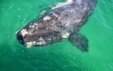 close up of curious juvenile Southern Right Whale in False Bay, South Africa