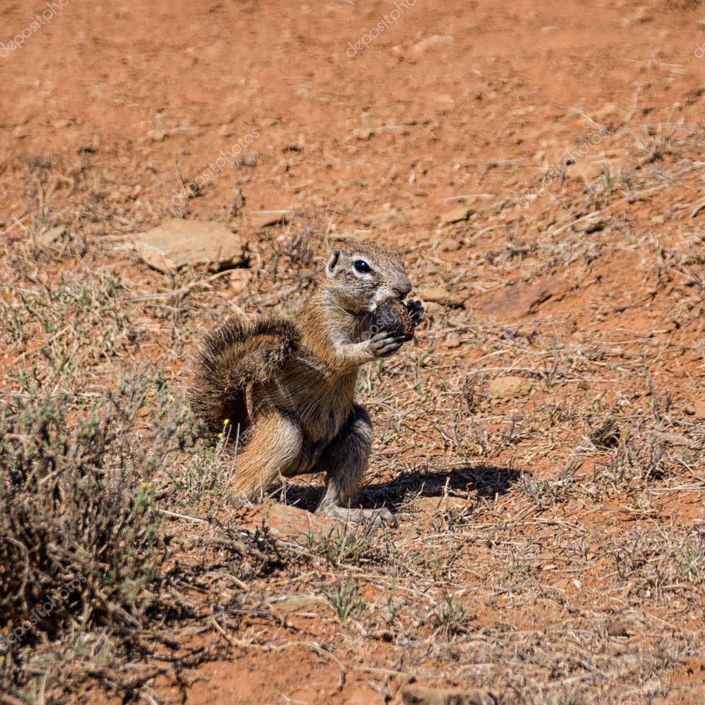 close up of African Ground Squirrel eating dung in Southern African savanna