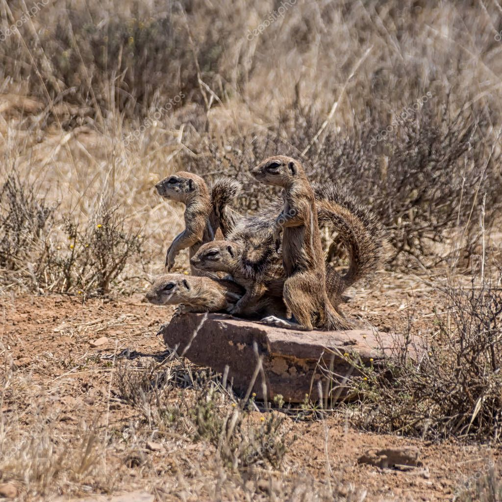 family of African Ground Squirrels in Southern African savanna