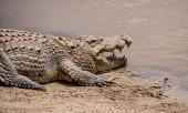 Photo Nile Crocodile resting on coast of river in Namibian savanna