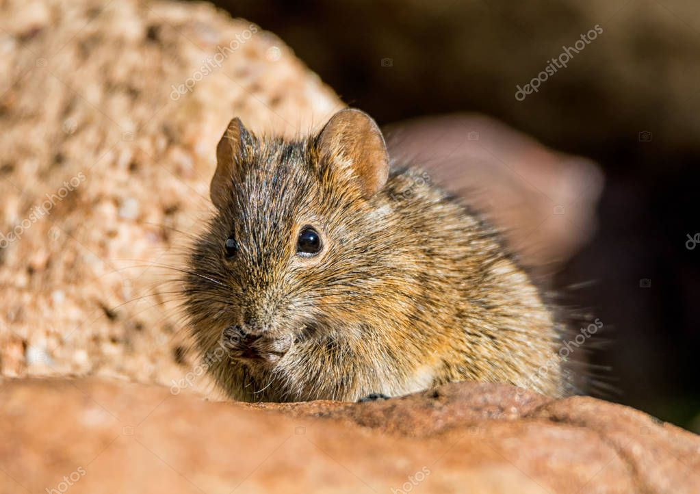 close up of Four-striped Grass Mouse eating in stones, Southern Africa