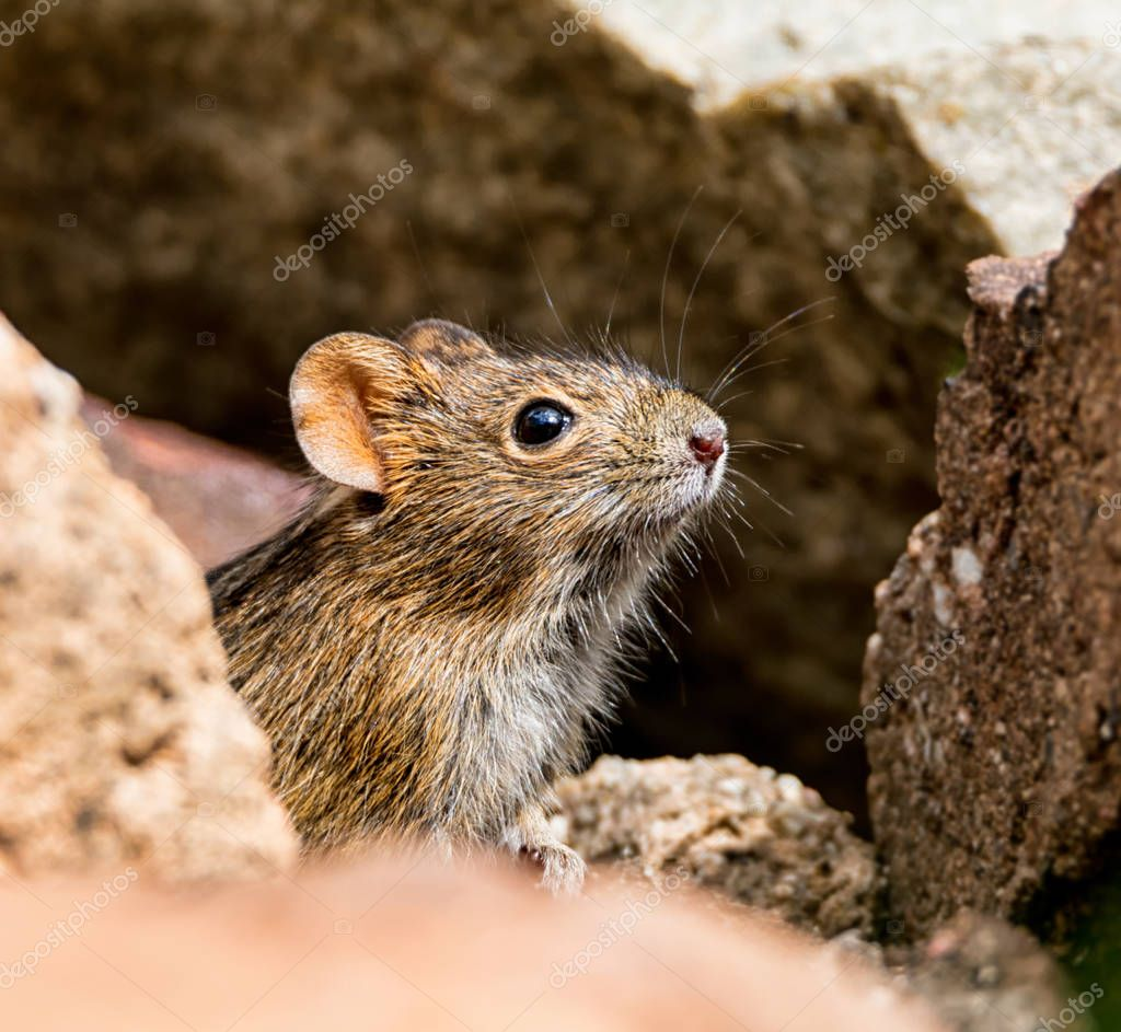 close up of Four-striped Grass Mouse sitting on stone in Southern Africa