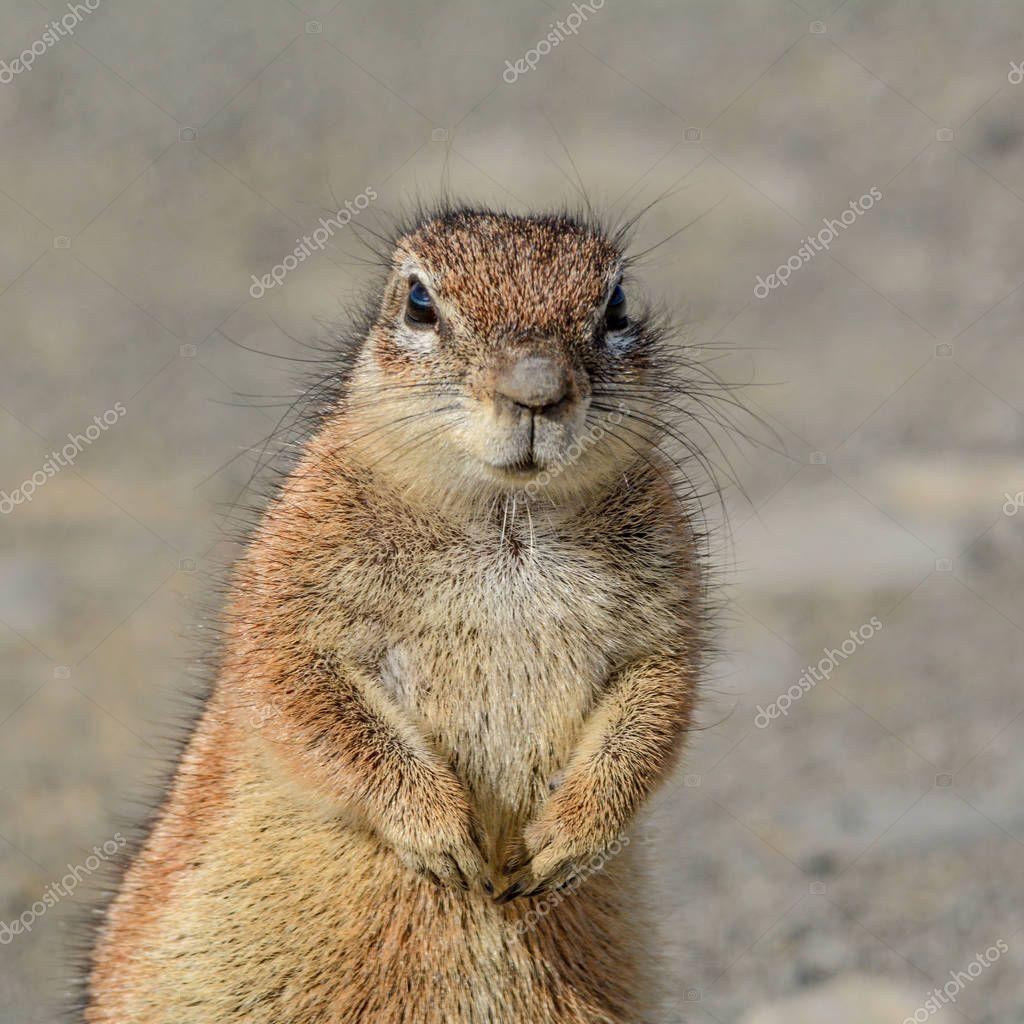 Portrait of African Ground Squirrel in Southern African savanna