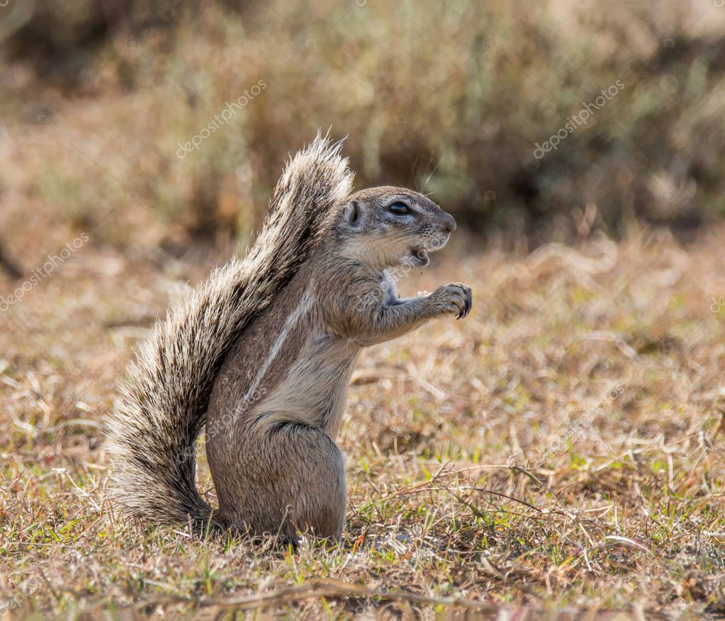 African Ground Squirrel forages in grassland in Southern Africa