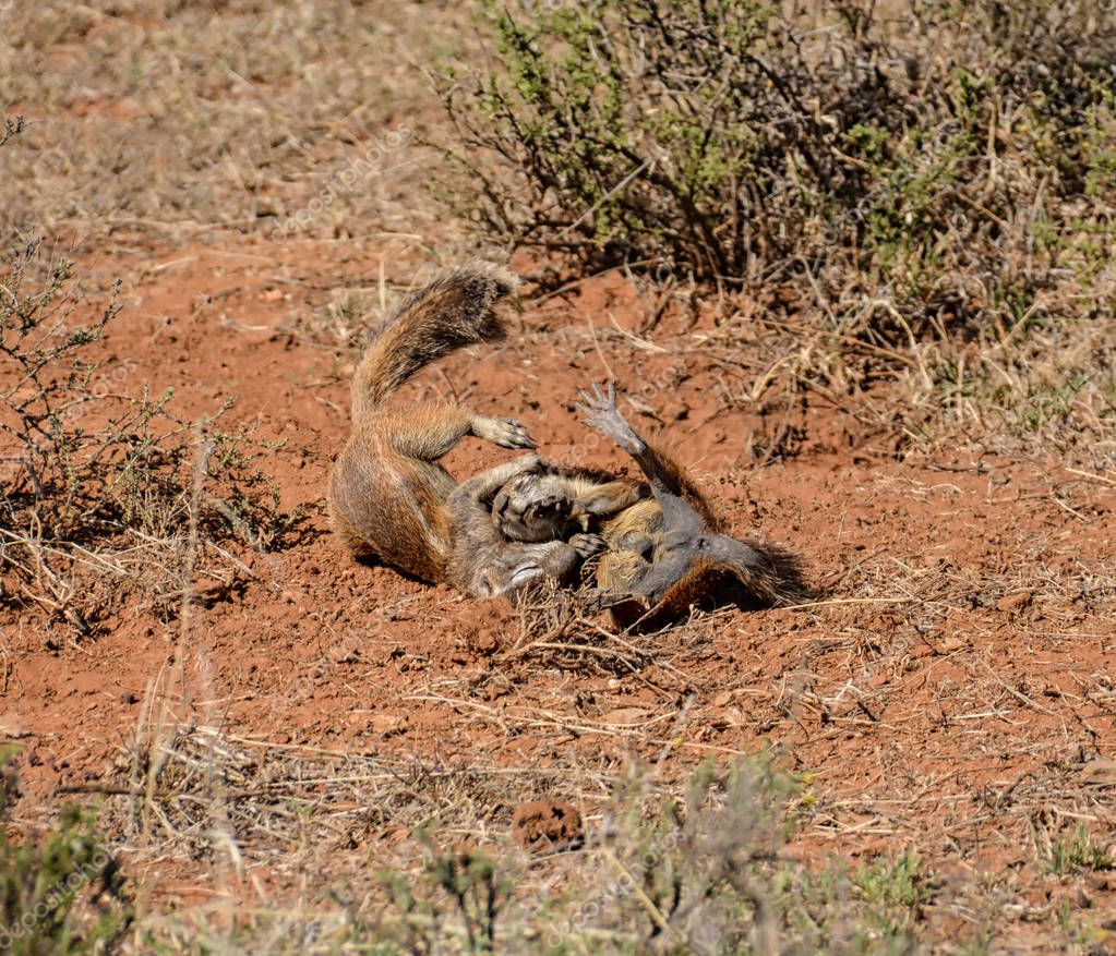 Young African Ground Squirrels playing