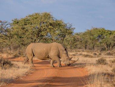White Rhinoceros crossing road in Southern African savanna
