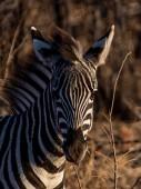 Fotografie Zebra stepní mladistvých v Jižní africké savany