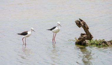 A pair of Black-winged Stilts at a watering hole in Southern Africa