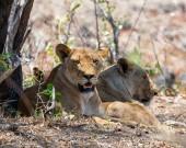 Egy nő oroszlán a Dél-afrikai szavanna