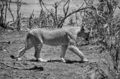 Fotografie Juvenilní Lev procházky v Jižní africké savany