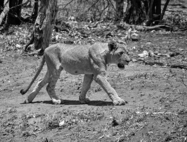 A juvenile Lion walking in Southern African savanna