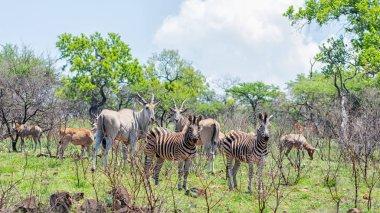 Eland, Zebra and Hartebeest in Southern African savanna