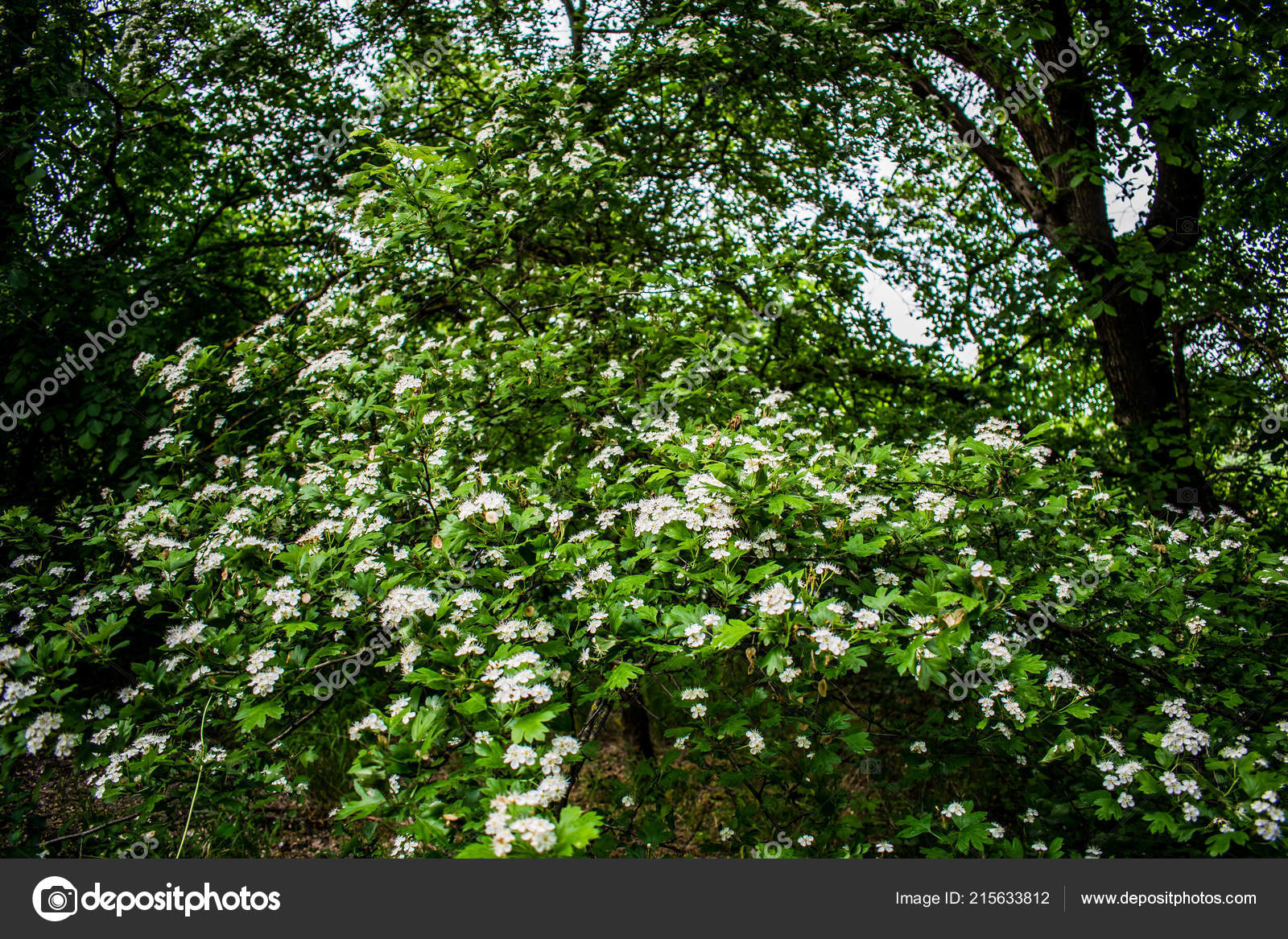 Flowering Tree Big Spring Bush Many Small White Flowers Buds