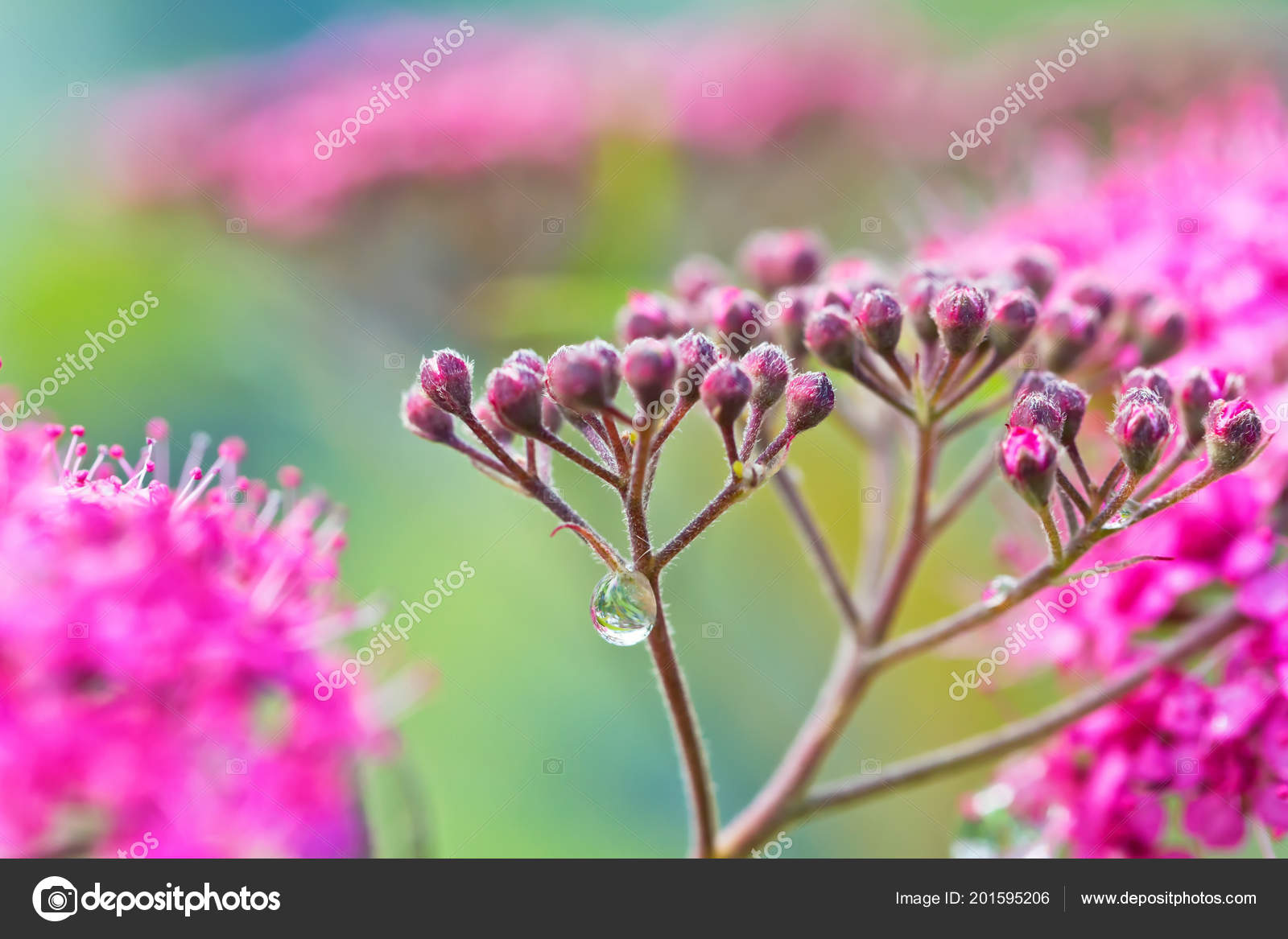 Small decorative pink flowers long stamens dew drops stems rain small decorative pink flowers long stamens dew drops stems rain stock photo mightylinksfo