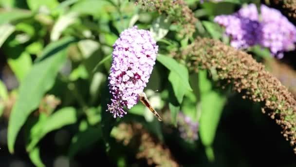 Egy kis pillangó összegyűjti pollen a virágok a kertben, és pollinates őket ugyanabban az időben