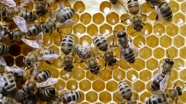The Caucasian honey bee (Apis mellifera caucasia, commonly misspelled caucasica) is a subspecies of the western honey bee.