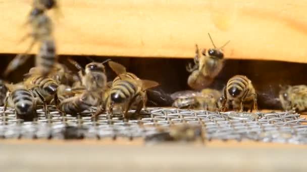 Kavkazská včela medonosná (Apis mellifera caucasia) je poddruhem západní včely medonosné..