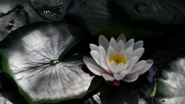 Más néven tavi liliom. vízililiom egy növény, amely nő a vízben, nagy fehér vagy rózsaszín virágok.