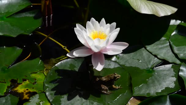 Also called pond lily. water lilies a plant that grows in water, with large white or pink flowers.