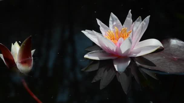 Taky se mu říká lilie. vodní lilie rostlina, která roste ve vodě, s velkými bílými nebo růžovými květy.