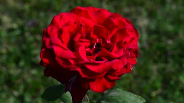 A rózsa a Rosaceae családba tartozó Rosa nemzetség fás évelő virágzó növénye.