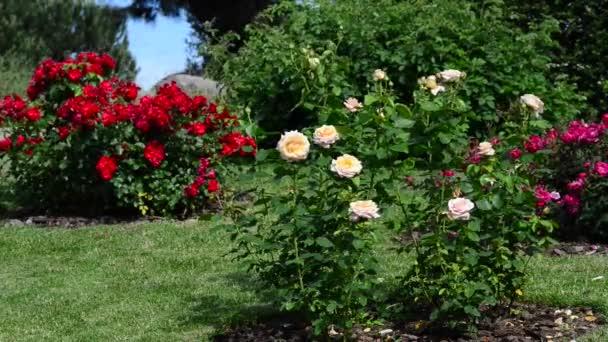 Růže je dřevitá, věčně kvetoucí rostlina rodu Rosa z čeledi Rosaceae