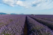 beautiful blooming lavender flowers and distant mountains in provence, france