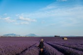 back view of girl walking on picturesque lavender field in provence, france
