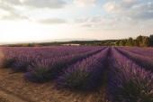 Fotografie kvetoucí květiny fialové levandule na obdělávané pole v provence, Francie