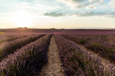 beautiful blooming lavendes on cultivated field at sunset, provence, france