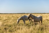 Fotografie beautiful white horses grazing on pasture, provence, france
