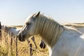 boční pohled na krásný bílý kůň na pastvině, provence, Francie