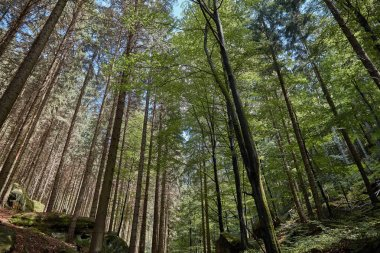 low angle view of green trees in beautiful forest in Bastei, Germany