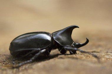 Rhinoceros beetle, Scarabeidae, Gurjee Tripura state of India