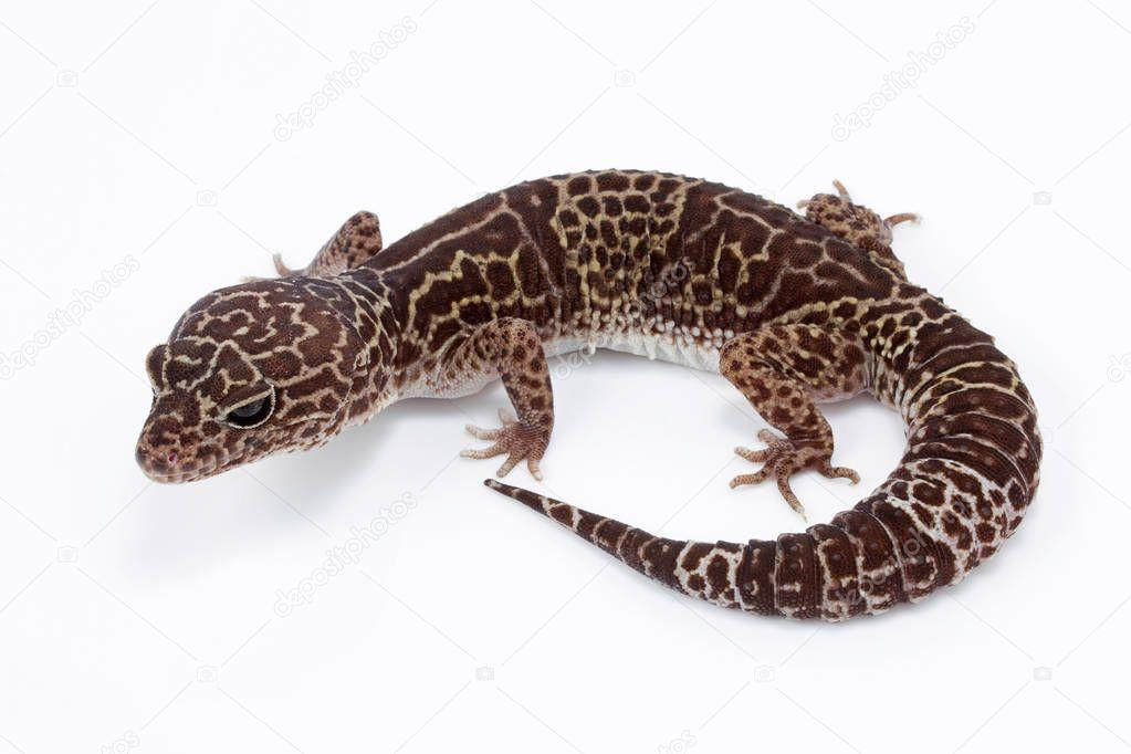 Close-up of Leopard gecko, Eublepharidae sp Eublepharidae India