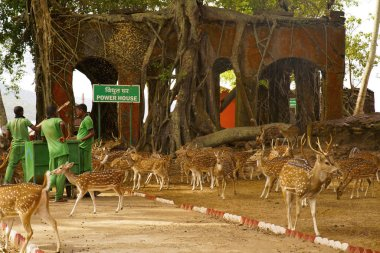 Indian Spotted Deer chital or cheetal Axis axis at Ross Island, Andaman being fed with corn